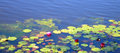 Water lilies on a pond landscape with in bloom Stock Photos