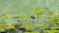 Water lilies in a pond. Royalty Free Stock Photo