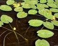 Water lilies on a water surface