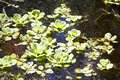 Water-lilies in the swamp