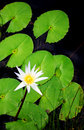 Water lilies white flowers Royalty Free Stock Photo