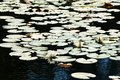 Water lilies white with green leaves on Royalty Free Stock Images