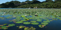 Water lilies white on a tropical river rio dulce guatemala Royalty Free Stock Image