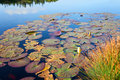 Water Lilies, wild nature panorama Royalty Free Stock Photo