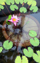 Water lilly Royalty Free Stock Images