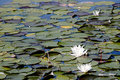 Water lilly background Royalty Free Stock Images