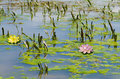 Water lilly blossoms in summer day Royalty Free Stock Photo