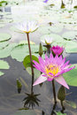 Water lilly group of white and pink with bees Royalty Free Stock Photography