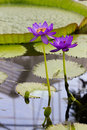 Water lilly in the pond Royalty Free Stock Image