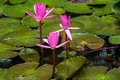 Water lilly in the pond among the leaves Royalty Free Stock Photos