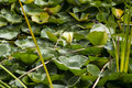 Water lilly in pond lonely Royalty Free Stock Photo