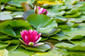 Water lilly pond scenery with Stock Photo