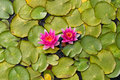 Water lilly pond scenery with Royalty Free Stock Photography