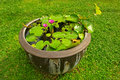 Water lilly in a pot Royalty Free Stock Photos