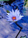 Water-lily Royalty Free Stock Photos