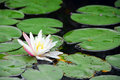 Water lily blooming Stock Images