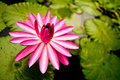 Water Lily blossom Royalty Free Stock Photo