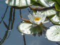 Water-lily blossom Royalty Free Stock Photo