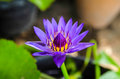Water lily blue lotus in nature with green Stock Photos