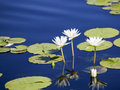 Water Lily in blue water Stock Image