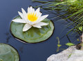 Water lily floating on lake Royalty Free Stock Photo