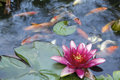 Water lily flower blooming in koi pond pink with swimming with abstract clouds reflection Stock Photos