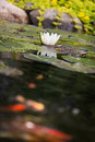 Water lily flower with carp koi golden fishes Royalty Free Stock Photo