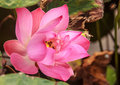 Water Lily Flower or Lotus Flower with bee inside Royalty Free Stock Photo