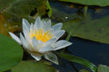 Water lily flower obed bar habitat of diverse flora and fauna in the spring months receives an unusual decoration Stock Image