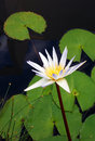 Water lily flower white nymphaea species a photograph showing a beautiful variety of waterlily scientific name surrounded by green Stock Image