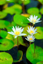 Water lily flower white on a pond Stock Images