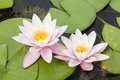 Water lily flowers with green leaves on pond surface Royalty Free Stock Photos