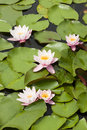 Water lily flowers with green leaves on pond surface Royalty Free Stock Images