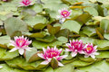 Water lily flowers with green leaves on pond surface Royalty Free Stock Photo