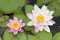 Water lily flowers with green leaves on pond surface Royalty Free Stock Image