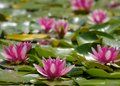 Water lily and frog a bunch of red flowers a with green leaf background Stock Photography
