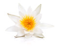 Water lily isolated on white background Stock Photos