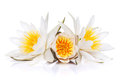 Water lily isolated on white background Stock Image