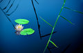 Water lily in lake with blue and reeds Royalty Free Stock Images