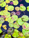 Water lily leaves in rain drops Royalty Free Stock Photo