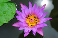 Water lily lilies are a well studied clade of plants because their large flowers with multiple unspecialized parts were initially Stock Images