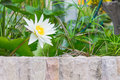 Water lily lotus flower with green leaves in the pond Stock Images