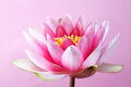 Water lily, lotus on pink Royalty Free Stock Photo
