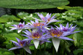 Water Lily - Nymphaea caerulea Stock Images