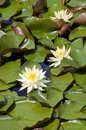 Water lily nymphaea white flower of aquatic plant Stock Images