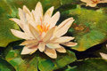 Water lily an oil painting of a in a pond Royalty Free Stock Photography