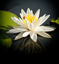 Water lily opened on pond Royalty Free Stock Image