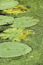 Water lily pads. Royalty Free Stock Photo