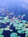 Water lily pads in autumn Royalty Free Stock Photo