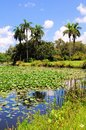 Water lily pads in pond a south florida wetland Stock Photography